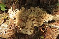 Hohe Mark 17.09.2017 Cauliflower Fungus - Sparassis crispa (37685382721).jpg