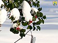 Holly berries in the snow (8246571625).jpg