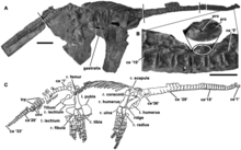 Holotype of Eoplesiosaurus antiquior.png