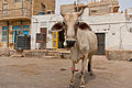 Holy cow in Jaisalmer 05.jpg