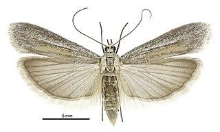 <i>Homoeosoma anaspila</i> species of insect