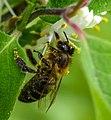 Honeybee (258460395).jpeg