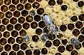 Honeybee worker.JPG