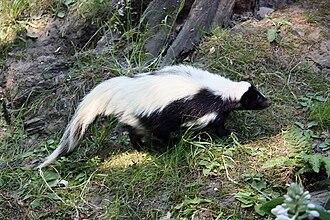 Mephitis (genus) - Image: Hooded Skunk side (Gelsenkirchen)