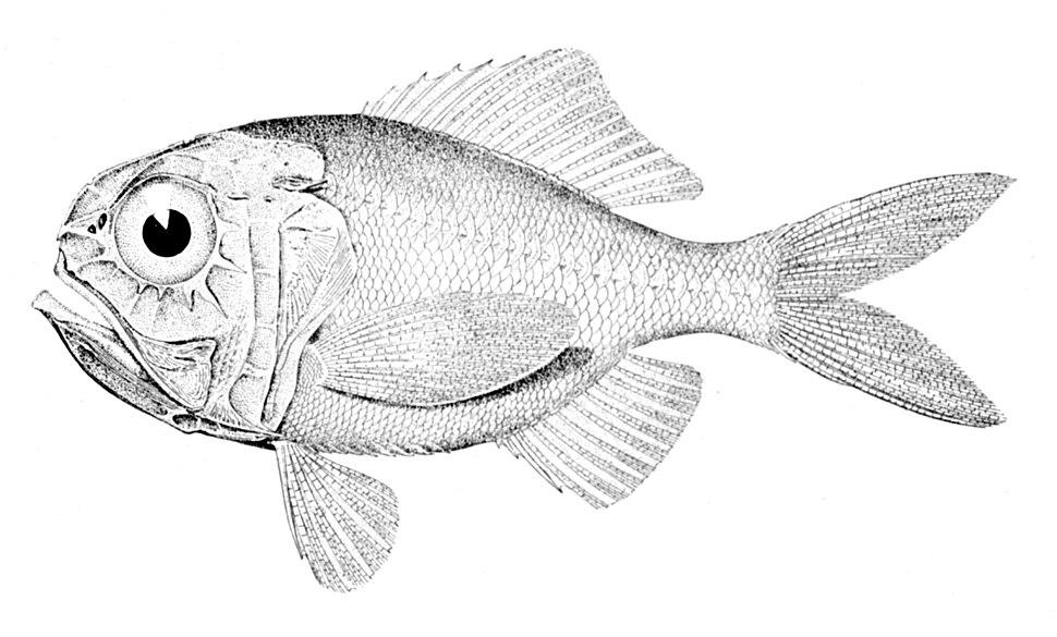 Hoplostethus mediterraneus mediterraneus
