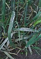 Hordeum vulgare Erysiphe graminis f. hordei (3).jpg