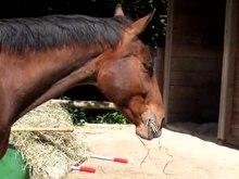 Fichier:Horse chewing MVI 7493.MOV.ogv
