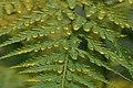 Hortus Botanicus Leiden Varensporen - Fern spores (30913159753).jpg
