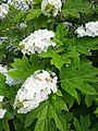 Hydrangea quercifolia at University of Washington Botanical Gardens.jpg