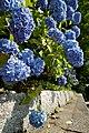 Hydrangeas of Kiyomizu (2616864752).jpg