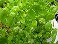 Hydrocotyle verticillata var triradiata1.jpg
