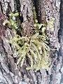 Hylocomiadelphus triquetrus 116602605.jpg