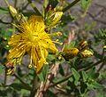 Hypericum.maculatum.1.jpg