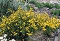 Hypericum empetrifolium ssp empetrifolium 1.jpg