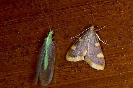 Hypsopygia costalis, Lodz(Poland)01(js).jpg