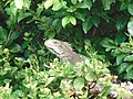 Iguana iguana(Iguanidae).jpg