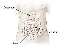 Het duodenum of de twaalfvingerige darm.