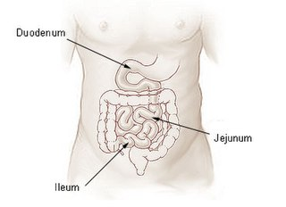The final section of the small intestine in mammals, reptiles, birds and some other vertebrates.