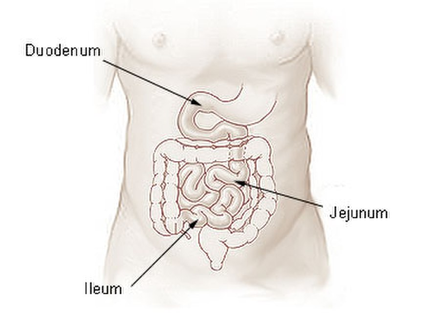 Ilium Vs Ileum Whats The Difference Ask Difference