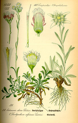Floarea Reginei Wikipedia