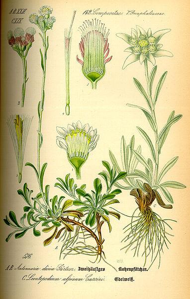 File:Illustration Leontopodium alpinum0.jpg