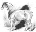 Illustrirte Zeitung (1843) 12 182 3 Zuchthengst des Dr Howsin.PNG
