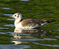 Immature black headed gull.jpg