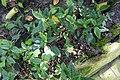 Impatiens hians-Jardin botanique Meise (5).jpg