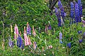 In & around Torres Del Paine Nat'l Park - these sure look very similar to North American Lupines.?? - (24559751193).jpg