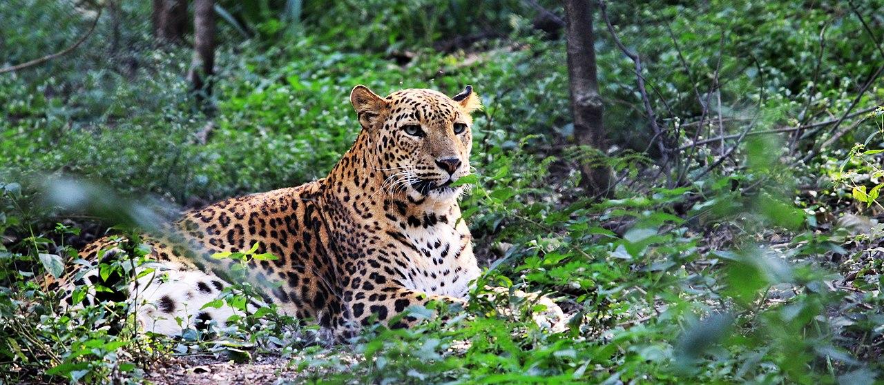 IndianLeopard.jpg