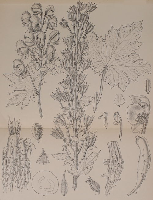 Indian Medicinal Plants - Plate 16 - Aconitum balfourii.png