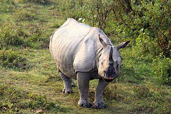 Indian One Horned Rhino 2.jpg