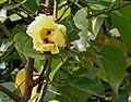Indian Tulip tree (Thespesia populnea) flowers W IMG 6871.jpg