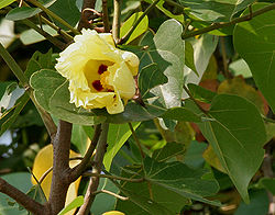 http://upload.wikimedia.org/wikipedia/commons/thumb/3/3d/Indian_Tulip_tree_(Thespesia_populnea)_flowers_W_IMG_6871.jpg/250px-Indian_Tulip_tree_(Thespesia_populnea)_flowers_W_IMG_6871.jpg