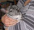 Indy chinchilla.jpg