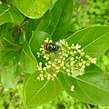 Insects Bee from Madayipara DSCN2130.jpg