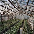 Interieur bloemenkas - Aalsmeer - 20404708 - RCE.jpg