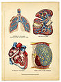 Interior of the heart, lungs,liver, and stomach from The Household Physician, 1905 (14147401167).jpg