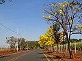 Ipês amarelos (Tabebuia serratifolia) na entrada do Instituto Agronômico de Campinas (IAC) - Centro de Cana em Ribeirão Preto-SP. O local é ao lado da exposição Agrishow. - panoramio.jpg