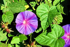 Flowers and leaves of a Morning Gloria (Ipomoea acuminata)
