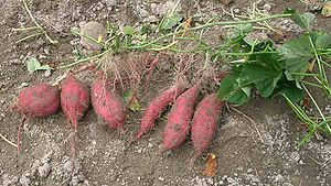 Freshly dug sweet potato plants with tubers.