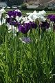 Iris in Ashimori 2.JPG