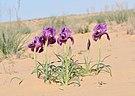 Iris mariae 1.jpg
