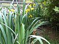 Iris pseudacorus W63.jpg