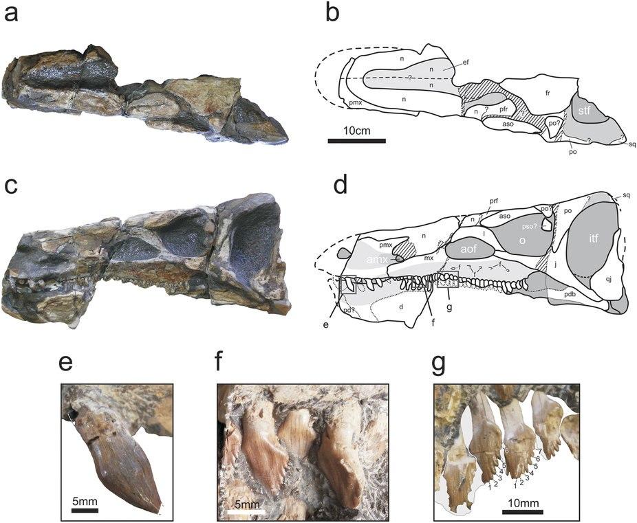 Isaberrysaura mollensis skull