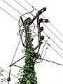 Ivy climbing up an electricity pole - geograph.org.uk - 1531984.jpg