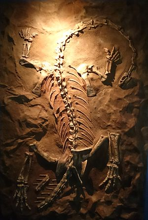 Massospondylus - Reconstructed skeleton in Iziko Museum