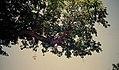 JIRCAS Baobab flower Torodi crop.jpg