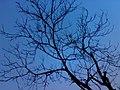 JNU old Tree.jpg