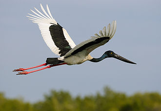 Black-necked stork - Adult female in flight at the McArthur River in the Northern Territory of Australia